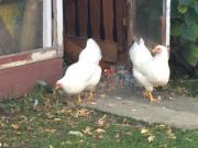 Zwerghühner Legehühner Hühner