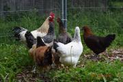 16 Rassen Hühner,