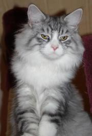 3 Maine Coon