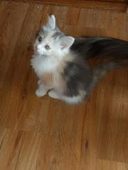 5 Maine Coon/