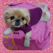 Ana , kleines Pekinesenmädchen