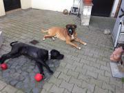 Antikdogge x Boxer