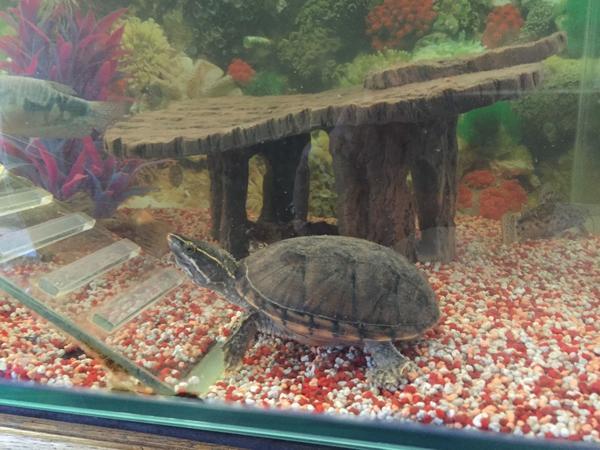 aquarium mit fischen und 2 wasserschildkr ten in hohenems fische aquaristik kaufen und. Black Bedroom Furniture Sets. Home Design Ideas