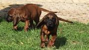 Bayerische Gebirgsschweißhunde Welpen