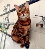 Bengal Katze spurlos