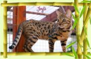 Bengal Kitten Joyti