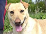 BERNADETTE, Labrador Mischling -