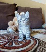 BKH Kitten Kater