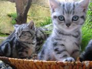BKH Whiskas Kitten