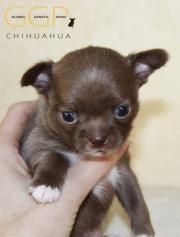 Chihuahua Kurzhaar Rüden