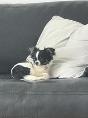 Chihuahua- Mini sucht