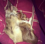 Chihuahua Pärchen