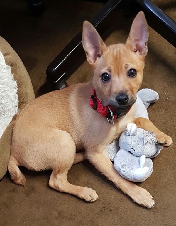 Chihuahua Pinscher Mischling In Plettenberg Hunde Kaufen Und Verkaufen 252 Ber Private Kleinanzeigen