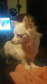 Chihuahuamixwelpen