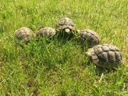 Dalmatische Landschildkröten (Testudo