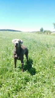 Deckrüde Labrador silber