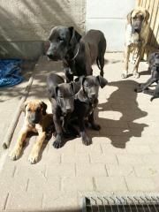 Deutsche Dogge-Rhodesian