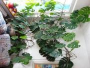 Fensterblatt (Monstera, Philodendron)