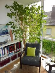 Ficus Benjamini / Birkenfeige