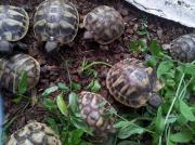 Griechische Landschildkröten 2017