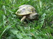 Griechische Landschildkröten testudo