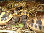 Griechische Landschildkröten. Versand