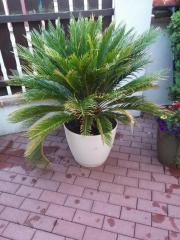 große Cycas revoluta