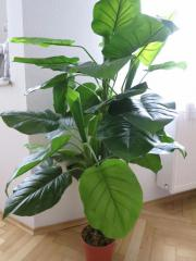 Große Kunstpflanze Dieffenbachia grün gebraucht