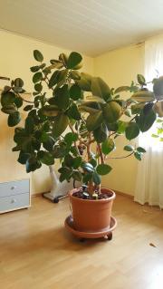 Zimmerpflanzen Groß zimmerpflanzen in groß umstadt pflanzen garten günstige
