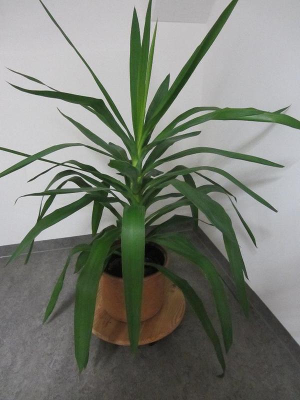 gro e zimmerpflanzen gebraucht kaufen nur 3 st bis 75 g nstiger. Black Bedroom Furniture Sets. Home Design Ideas