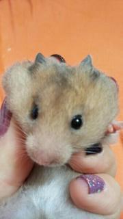 Hamster Goldhamster