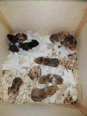 Hamster Nachwuchs Goldhamster