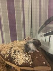 Hamsterbabys