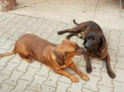 Hannoverscher Schweißhund-Welpen