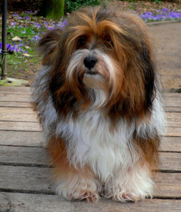 Havaneser Carlo Havaneser In Rastede Hunde Kaufen Und