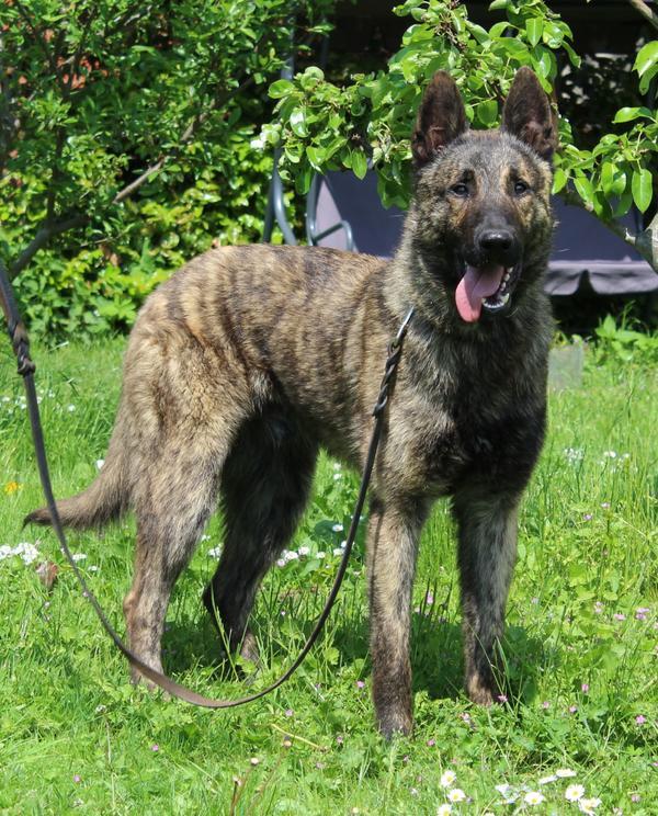 Holl 228 Ndischer Sch 228 Ferhund Herder In Gro 223 Gr 246 Nau Hunde Kaufen Und Verkaufen 252 Ber Private