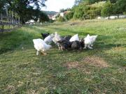 Hühner Junghennen und
