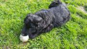 Hunde-Welpen 8