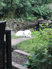 Husky-Mischling sucht