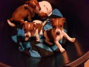 Jackrussel Hundewelpen