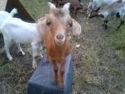 Junge Ziegenböcke - Buren -