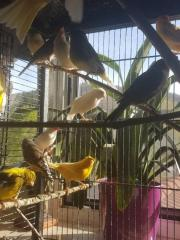 Kanarien Vögel suchen