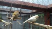 Kanarienvögel nestjunge