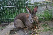 Kaninchen Männlich 1