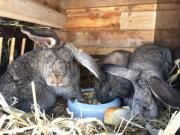 Kaninchen Schlappohr - Männchen -