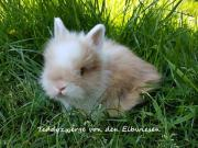 Kaninchen Zwergkaninchen langes