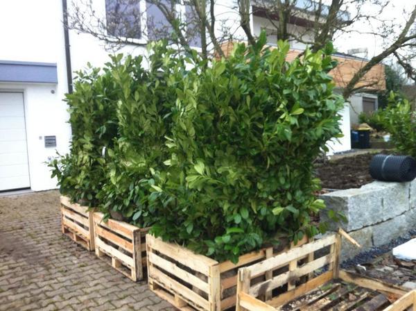 kirschlorbeer hecke f r garten 30 st ck in frickenhausen pflanzen kaufen und verkaufen ber. Black Bedroom Furniture Sets. Home Design Ideas