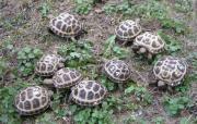 kleine Vierzehenschildkröten NZ
