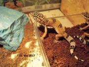 Kleiner Leopardgecko vom