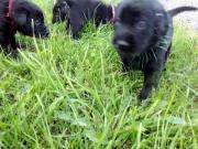 Labradorwelpe weibl. kräftig